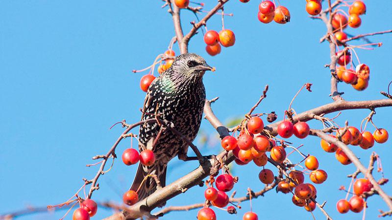 Star Vogel des Jahres Winzer sauer