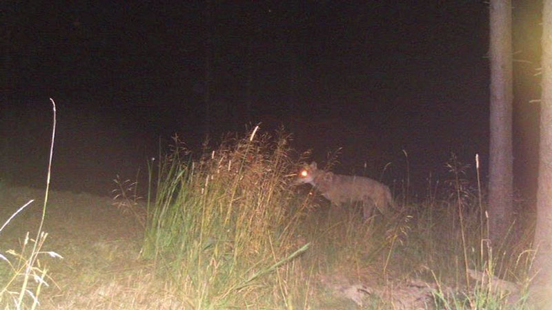 Aufnahmen aus der Wildkamera Meyr-Melnhof Wolf