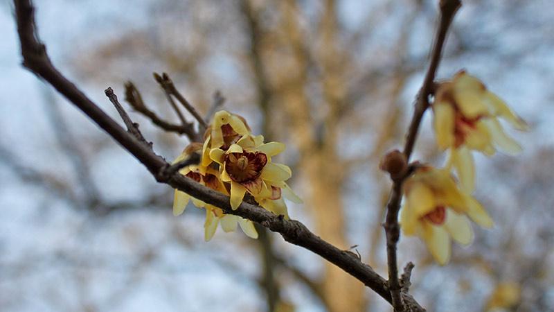 Winterblüher Erlebnis Natur chinesische Winterblüte