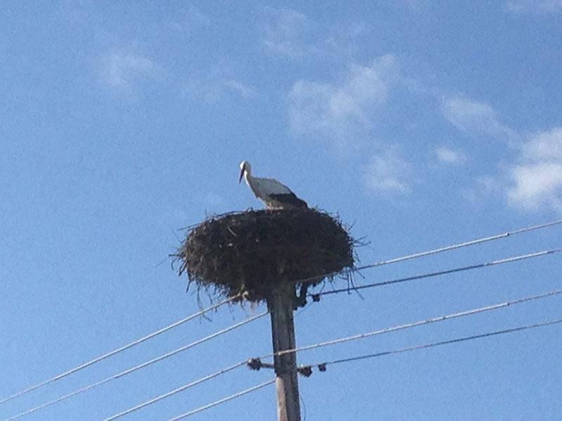 Storch im Nest in Eisenzicken