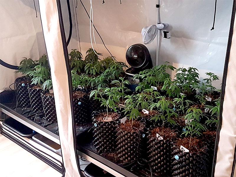 Cannabisplantage