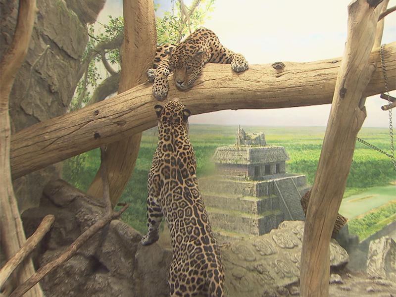 Jaguar-Kater im Zoo