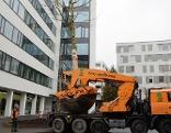 Umpflanzung Riesenbaum