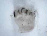Bär aus Winterschlaf erwacht Laak