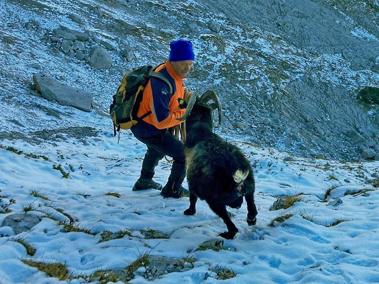 """Einen großen Ziegenbock haben Bergretter am Montag aus den Leoganger Steinbergen gerettet. """"Burli"""" dürfte beim 2.206 Meter hohen Mitterhorn  schon im Juni einer Gamsherde nachgeklettert sein und verbrachte den ganzen Sommer auf einem schmalen Grasband in der Nordwand des benachbarten Mitterspitzes."""
