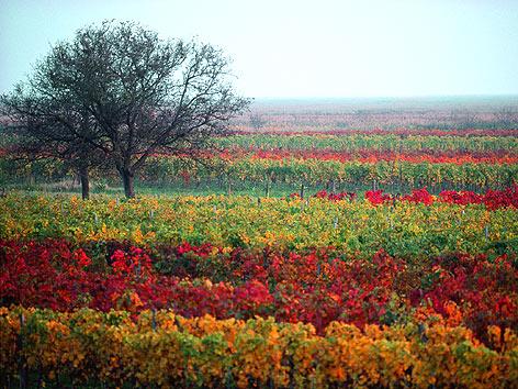 Herbstlicher Weingarten am Neusiedler See