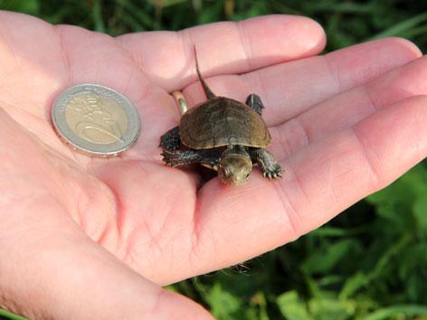 Schildkröte und Euromünze