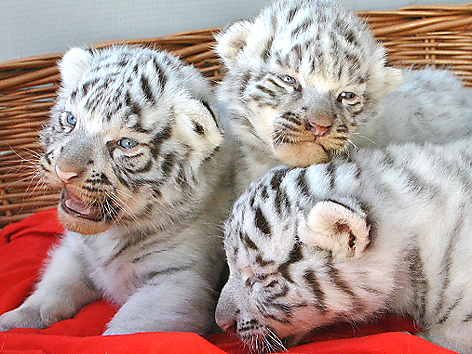 Drei kleine weißte Tiger aus dem Kameltheater Kernhof