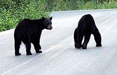 Schwarzbären auf kanadischem Highway