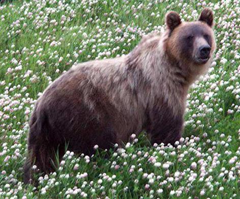 Wilder Braunbär (Grizzly) in Kleefeld