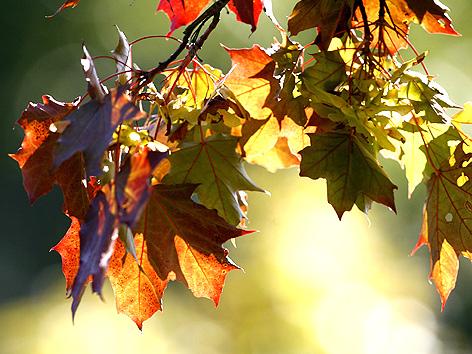 Sujetbild Herbst; bunte Ahornblätter