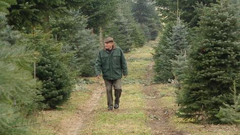 Mann geht durch Christbaum-Plantage