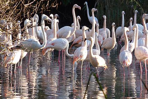 Flamingos im Privatzoo von Robert Scheck in der Stadt Salzburg