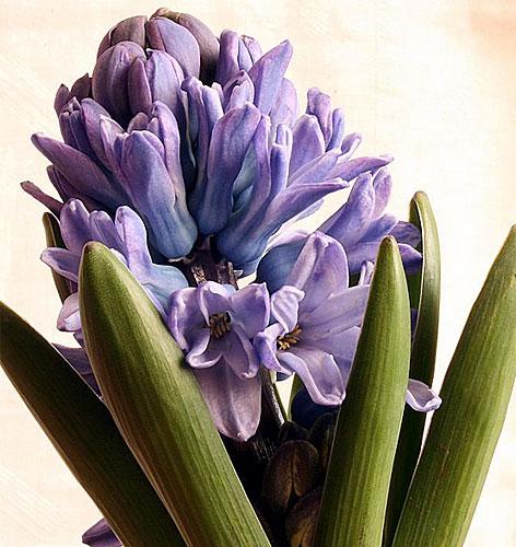 Hyazinthe Blume Frühling