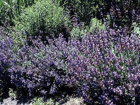 Salvia Blüten