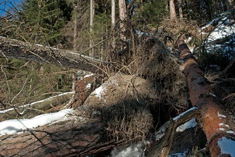 Mit Wurzeln umgestürzte Bäume