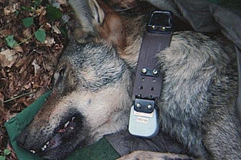 Karawanken-Wolf Slavko in der Narkose