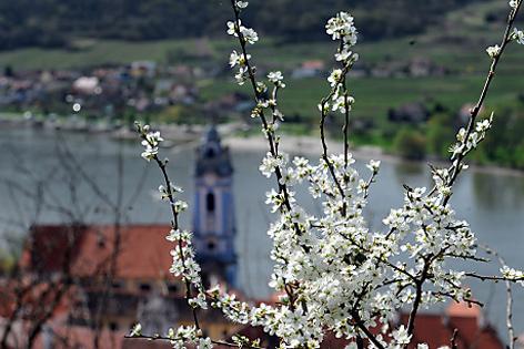 Marillenblüte in Dürnstein