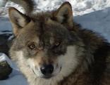 Wolf im Alpenzoo