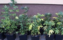 Indoor-Cannabisplantagen Bezirk Spittal/Drau