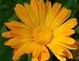 Ringelblume Pflanze Garten