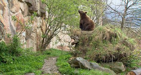 Bär im Alpenzoo