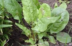 Sauerampfer-Blätter am Boden
