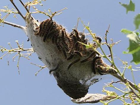 Raupen Im Baum