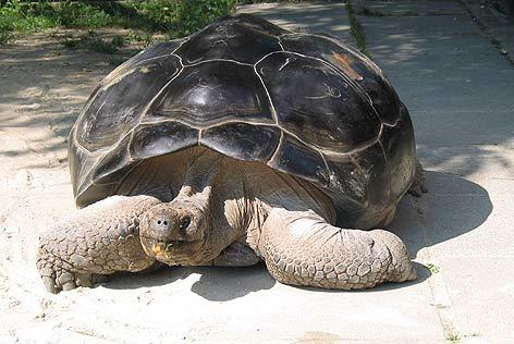Riesenschildkröte Happ
