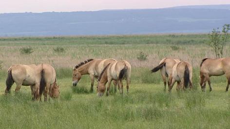 Przewalski- Pferde im Seewinkel