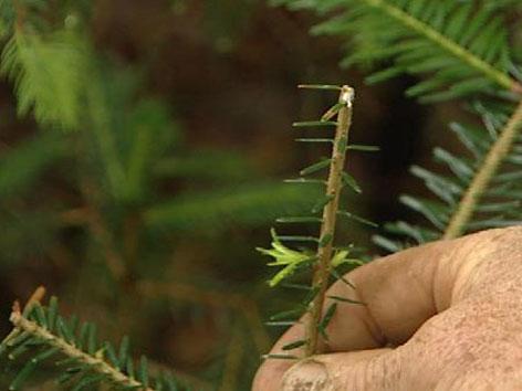 Wildverbiss bei Nadelbaum