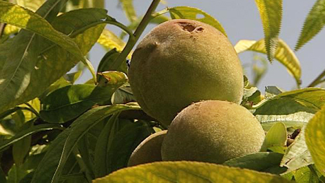 Hagelschäden am Obst