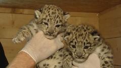 zwei Schneeleoparden-Babys