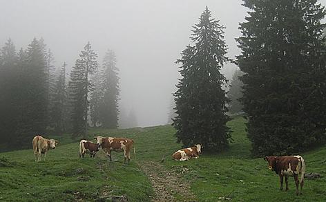 Alm Kühe Kuh Rinder Kalb Kälber Landwirtschaft Viehzucht Almvieh Vieh