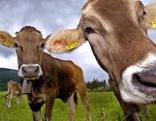 Kühe mit Glocke auf Alm