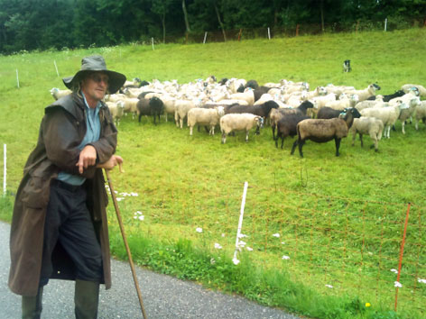 Schäfer Schafe Weide