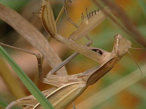 Braunes Insekt