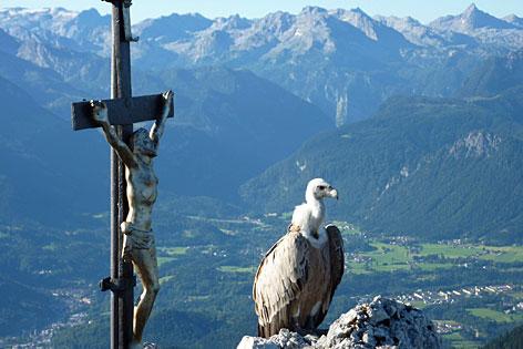 Gänsegeier Gundula auf dem Berchtesgadener Hochthron auf dem Untersberg