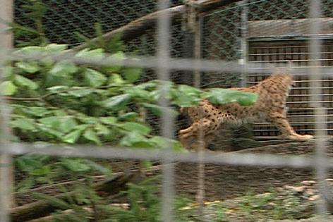 Luchs im Hellbrunner Zoo
