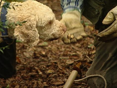 Trüffelhunde im Wald