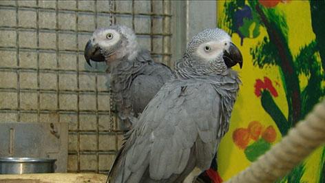 zwei graue Papageien nebeneinander
