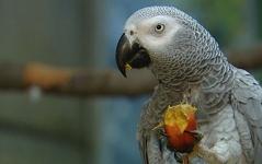 grauer Papagei isst Nuss