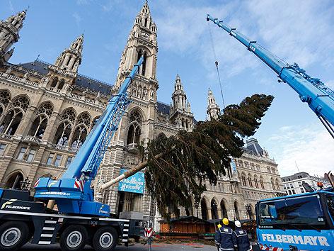 Am Mittwoch, 07. November 2012, wurde der Christbaum für den Wiener Christkindlmarkt vor dem Rathaus in Wien aufgestellt.