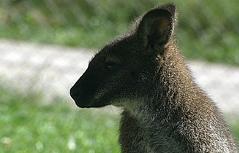 Känguru in Wagrain