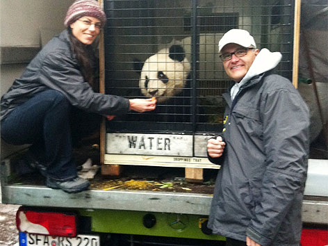 Panda Fu Hu verlässt Tiergarten Schönbrunn in Transportbox