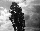 "Josef Sudek, ""Strom - A Tree"", 1950, Galerie Ambrosiana"