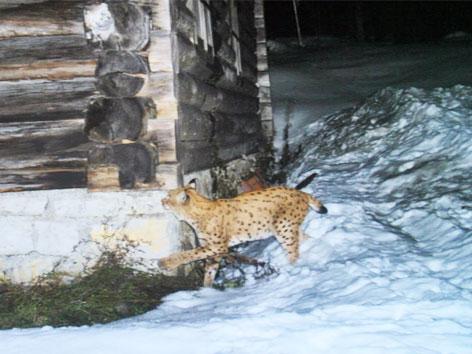 Luchs im Nationalpark Kalkalpen