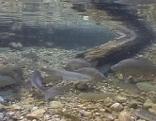Fische im Fluss