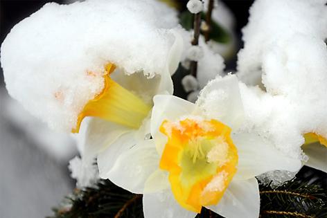 Mit Schnee bedeckte Blumen