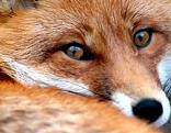 Tierfallen Verbot Petition Fuchs